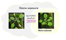 GLK1SRDX transformed Arabidopsis thaliana is tolerant to high concentrations of ozone. figure