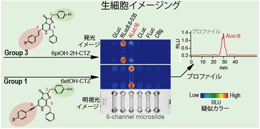 生きた動物細胞(アフリカミドリサルの腎臓由来)を用いた生物発光イメージング実験の図