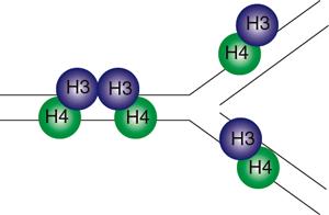 ヒストンシャペロンCIA/Asf1とヒストンH3, H4からなる複合体の構造と機能Structure and function of the histone chaperone CIA/ASF1 complexed with histones H3 and H4