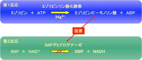 産総研:免疫抑制剤ミゾリビンの血中濃度を測定する酵素を開発