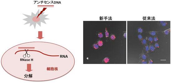 産総研:細胞核内にある機能不明...