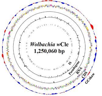 トコジラミに共生するボルバキアのゲノム構造の図
