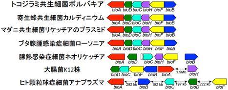 トコジラミのボルバキアとその他の細菌のゲノム上でのビタミンB7合成遺伝子群の配置の図