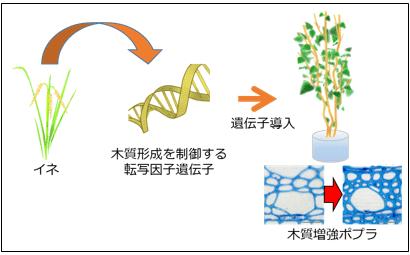 イネの木質生産を制御する転写因子遺伝子をポプラに導入して木質を増強の図