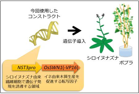 今回使用した遺伝子コンストラクトの図