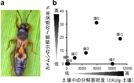 サトウキビ畑における、土壌中の殺虫剤分解菌密度と害虫への感染率の図