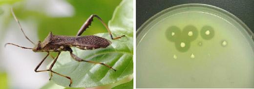 ダイズ害虫のホソヘリカメムシ(左)と土壌から単離した殺虫剤分解菌のコロニー(右)の写真