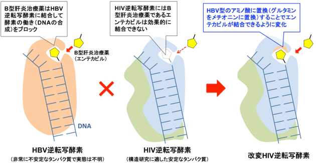 改変HIV逆転写酵素設計の概要図