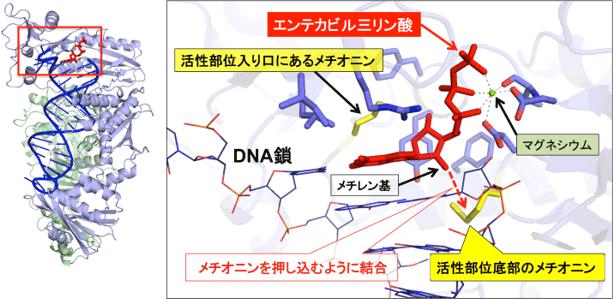 エンテカビルが結合した改変HIV逆転写酵素の構造図