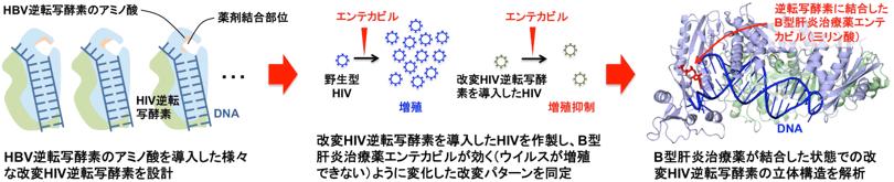 改変HIV逆転写酵素の作製とエンテカビルと結合した状態の立体構造図