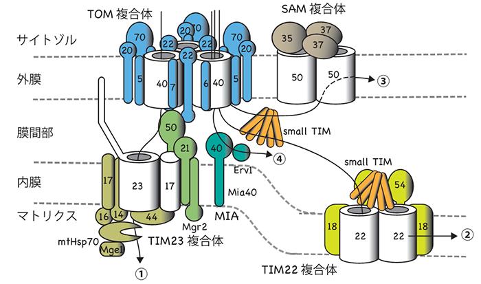 産総研:ミトコンドリアへのタンパク質搬入口TOM複合体の精密構造と ...