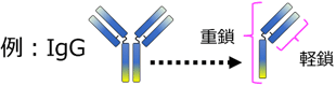 重鎖、軽鎖(κ鎖、λ鎖)説明図